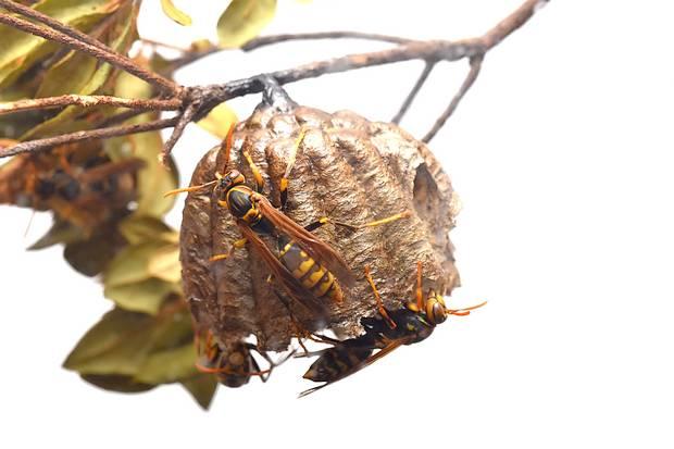 アシナガバチの画像 p1_28