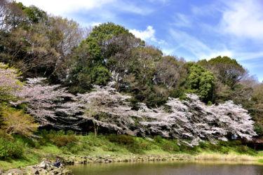 泉の森 ソメイヨシノ