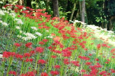 泉の森 ヒガンバナ